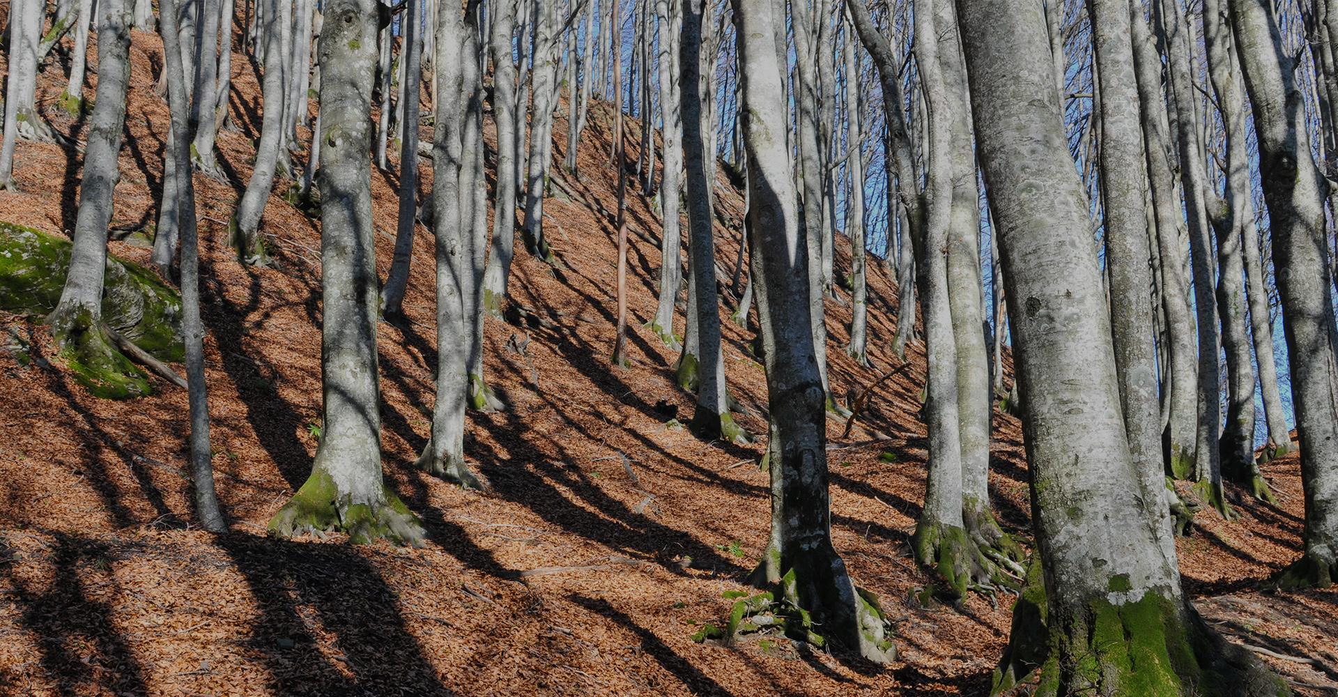 slide4-Foreste_di_faggio